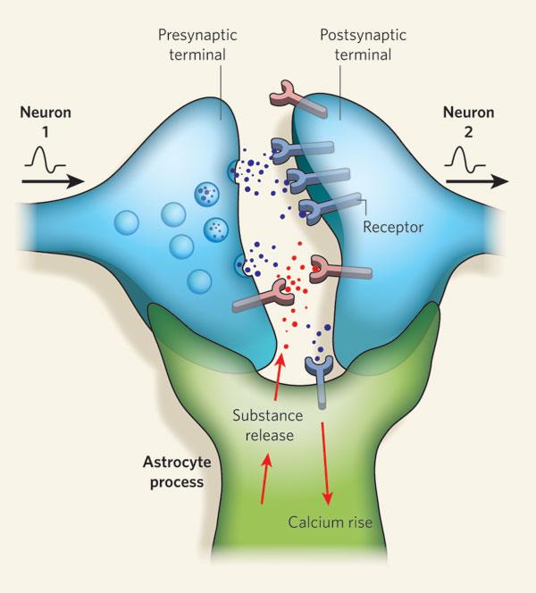 Sinapsis tripartita | Fuente: Glia — more than just brain glue Nicola J. Allen & Ben A. Barres Nature 457, 675-677(5 February 2009) doi:10.1038/457675a