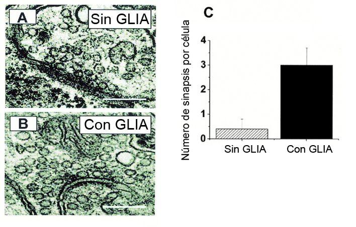 Número de conexiones sinápticas con y sin glía