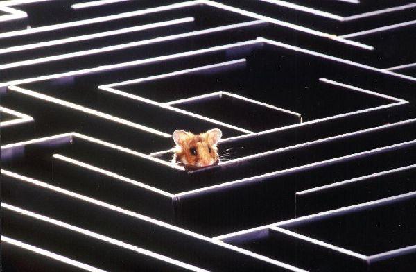 raton laberinto
