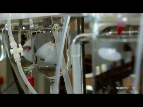 Riñón vivo creado por bioingeniería