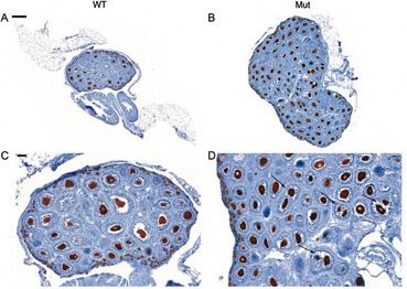La ausencia de un supresor tumoral podría producir esterilidad en ratones.