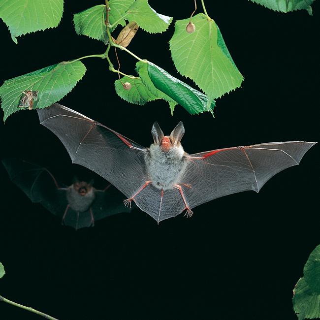 La degradación de los bosques caducifolios y el murciélago de Bechstein