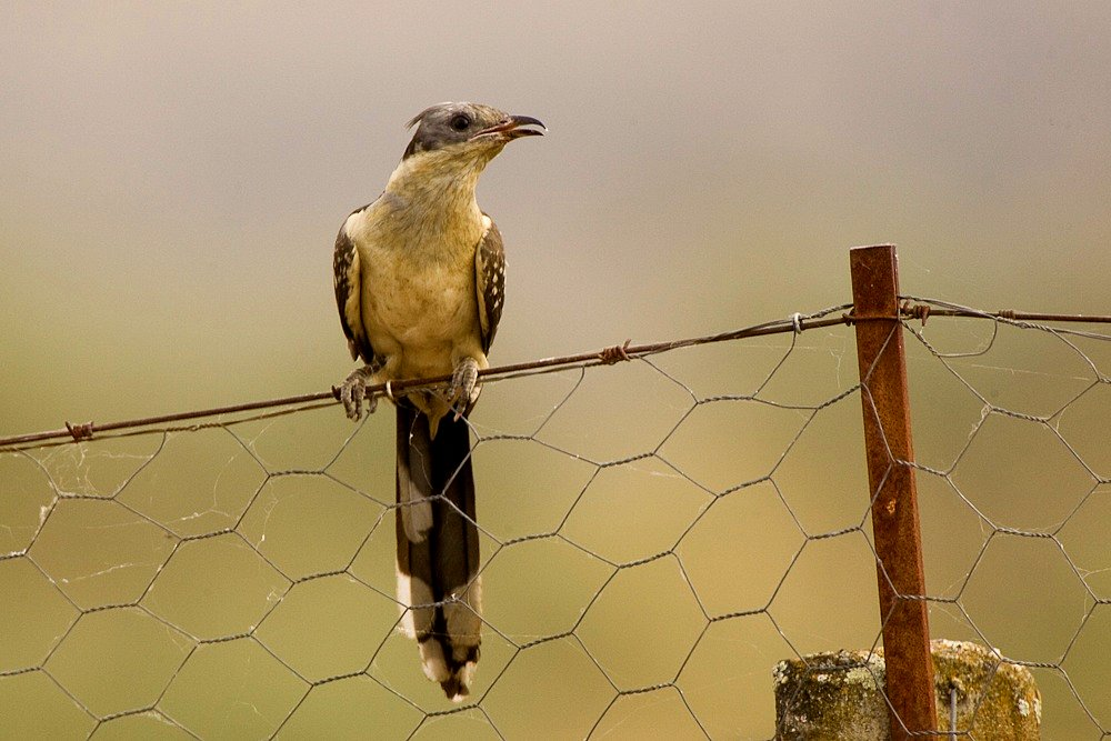 Parásitos mafiosos: el pájaro que podría salir en 'Los Soprano'