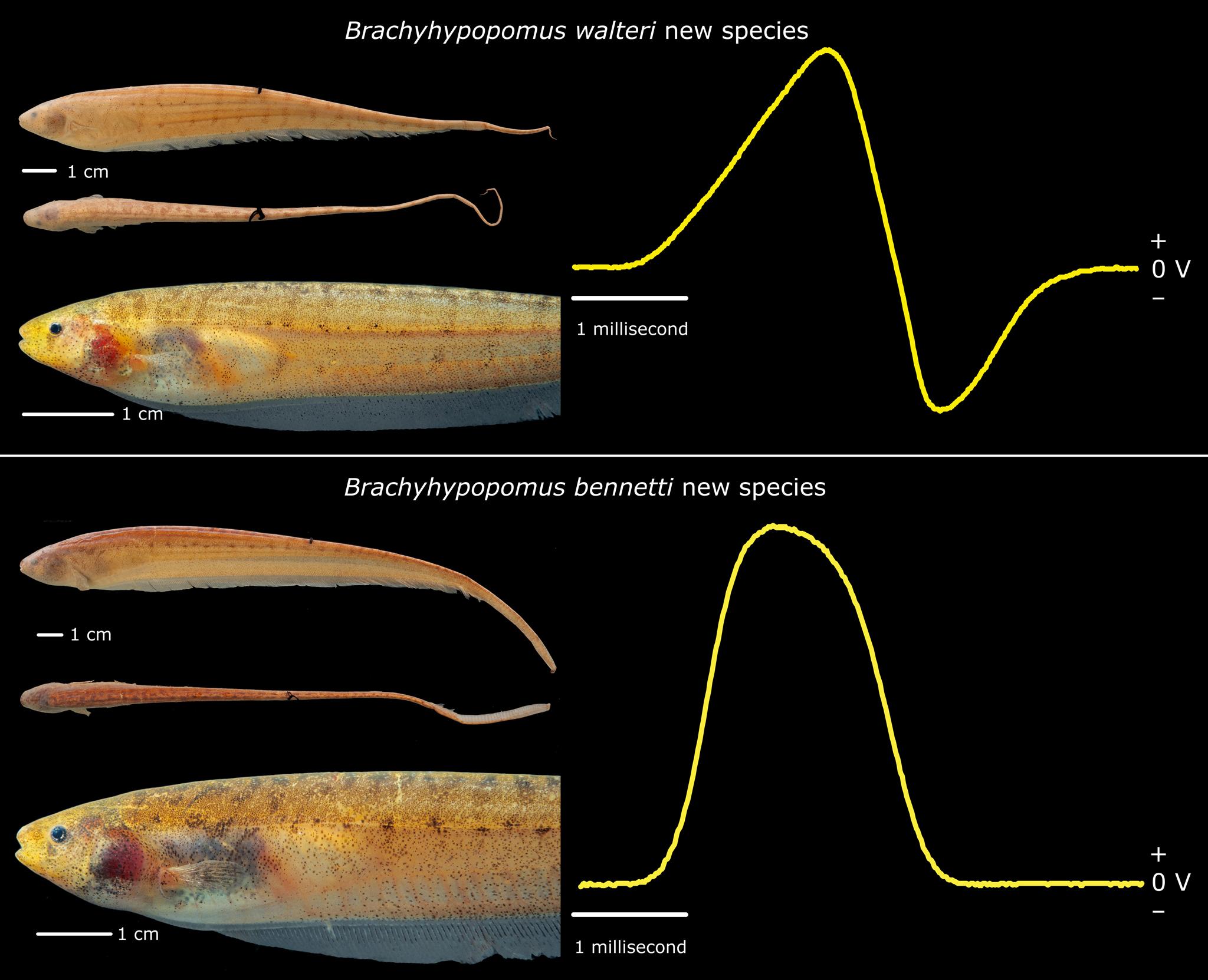 El misterio del pez eléctrico monofásico*