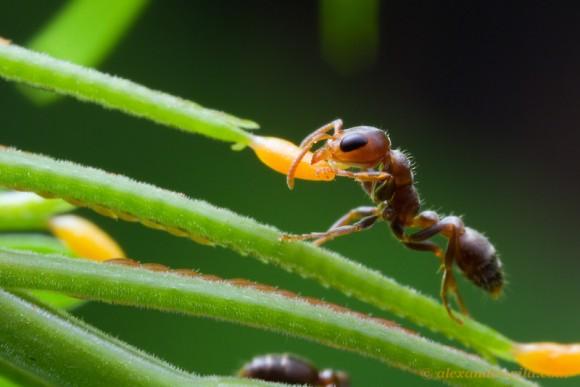 Hormiga Pseudomyrmex alimentándose del jugoso néctar de la Acacia cornigera