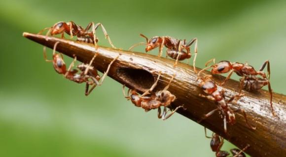 Las hormigas son tan feroces que se han realizado experimentos cortando tallos de la Acacia y las hormigas atacaban las tijeras en cuestion de segundos