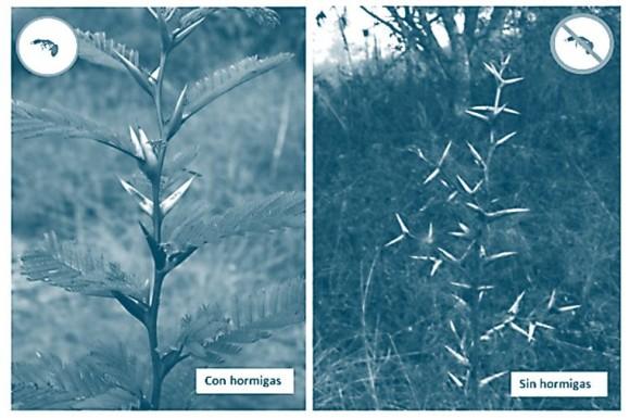 Las acacias de Janzen en 1966 - diferencia con y sin hormigas