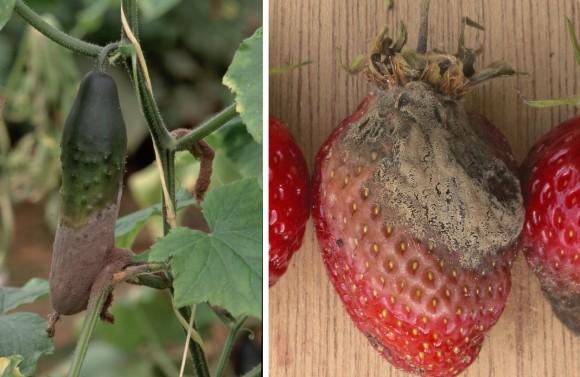 Pepino y fresa atacados por la podredumbre gris