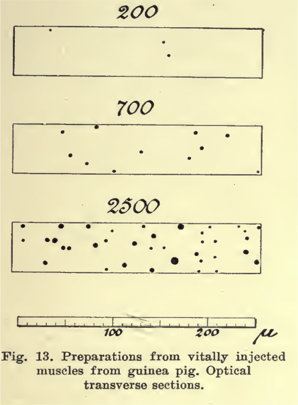 Dibujo de August Krogh en el que representa el reclutamiento de capilares en respuesta a una mayor demanda metabólica.