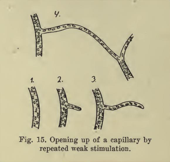 Dibujo de August Krogh en el que representa el modo en que se abren los capilares.