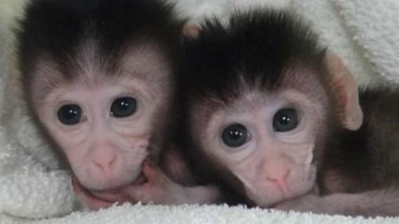 Los ya célebres monos cangrejeros del experimento publicado en Cell (2014)
