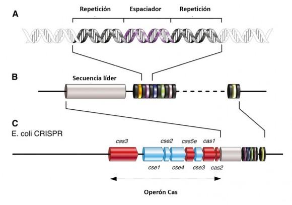 Estructura y organización del locus CRISPR y sus elementos relacionado - original de Karginov (Cell, 2010) traducción Jorge Val