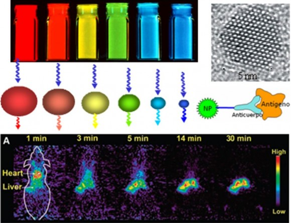 Figura 1. (Izqda.) Disoluciones de puntos cuánticos de distintos tamaños, con color de fluorescencia característico para cada tamaño. (Drcha.) Imagen de microscopía electrónica de un punto cuántico de CdSe en la que se puede apreciar su estructura cristalina. Esquema de reconocimiento anticuerpo-antígeno cuando el punto cuántico alcanza la zona dañada. (Abajo) Imágenes de un ratón en el que se han inyectado puntos cuánticos y cómo se acumulan en distintos órganos.