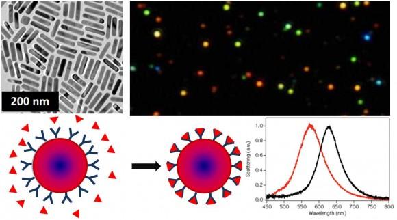 Figura 2. Arriba: Fotografías de microscopía electrónica de nanocilindros de oro y de microscopía óptica de campo oscuro donde se pueden ver los colores brillantes derivados de la reflexión de luz por nanopartículas individuales. Abajo: Esquema del fenómeno de reconocimiento molecular en una nanopartícula biosensora y su efecto en el espectro de absorción en el visible.