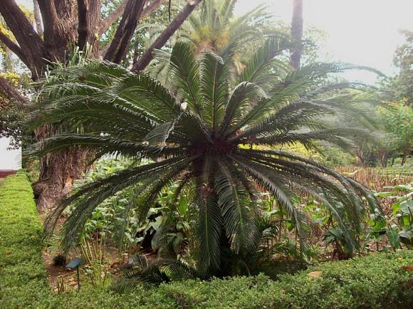Cycas revoluta, cualquier confusión con una palmera, es comprensible