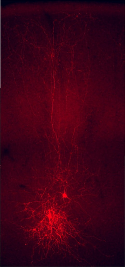 Figura 1. Una pareja de interneuronas corticales -células de Martinotti- en una sección coronal de la corteza cerebral del ratón. Las interneuronas se han modificado genéticamente para expresar una proteína fluorescente roja (tdTomato), lo que permite la identificación de su morfología, incluyendo los axones que se extienden hasta la superficie de la corteza.