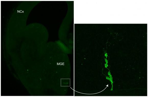 Figura 2. Izquierda, una sección coronal del cerebro embrionario del ratón, en donde se aprecia la zona donde nacen la mayor parte de las interneuronas (MGE) y su destino final, la corteza (NCx), todavía en una fase muy incipiente de su desarrollo. Derecha, un clon de interneuronas que ha nacido de un único progenitor, situado en la zona recuadrada en la fotografía de la izquierda. Las interneuronas se han marcado con un retrovirus que expresa la proteína fluorescente verde (GFP), lo que permite su identificación y seguimiento. Las interneuronas migran -se desplazan- a través del cerebro desde su origen en el MGE hasta la corteza.