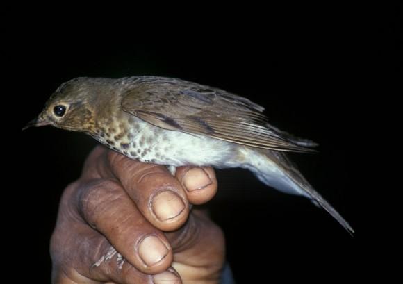 Catharus ustulatus recogido en Ecuador para su anillamiento