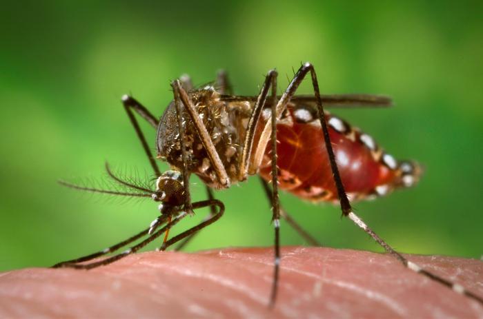 Mosquitos transgénicos