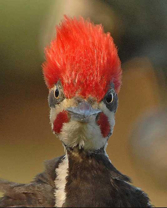 ¿Por qué el pájaro carpintero no sufre lesiones cerebrales?