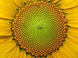 Las espirales del girasol