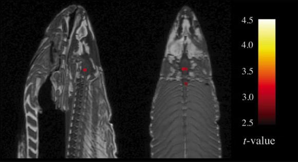 Actividad encefálica en un salmón muerto detectada por fMRI