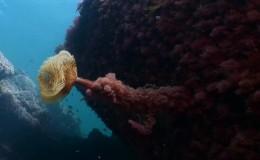 Declive de las algas Gelidium en la Costa Vasca