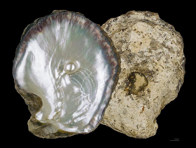 El caso de las perlas cultivadas