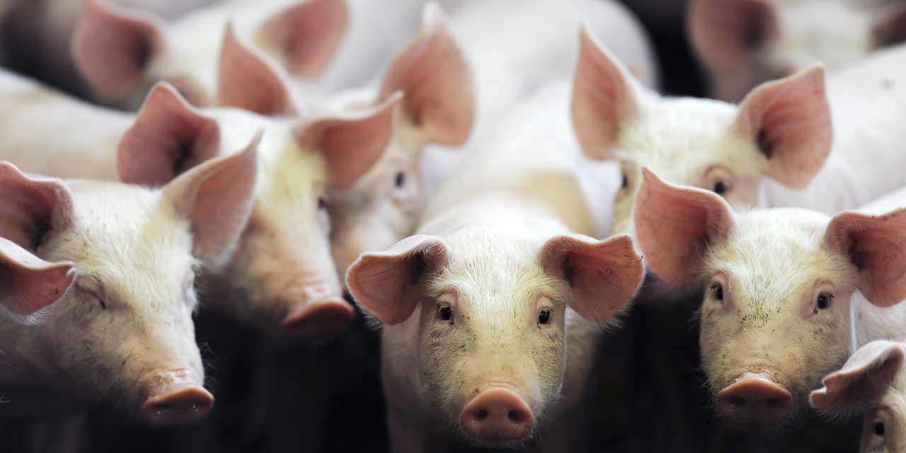 Cronología porcina
