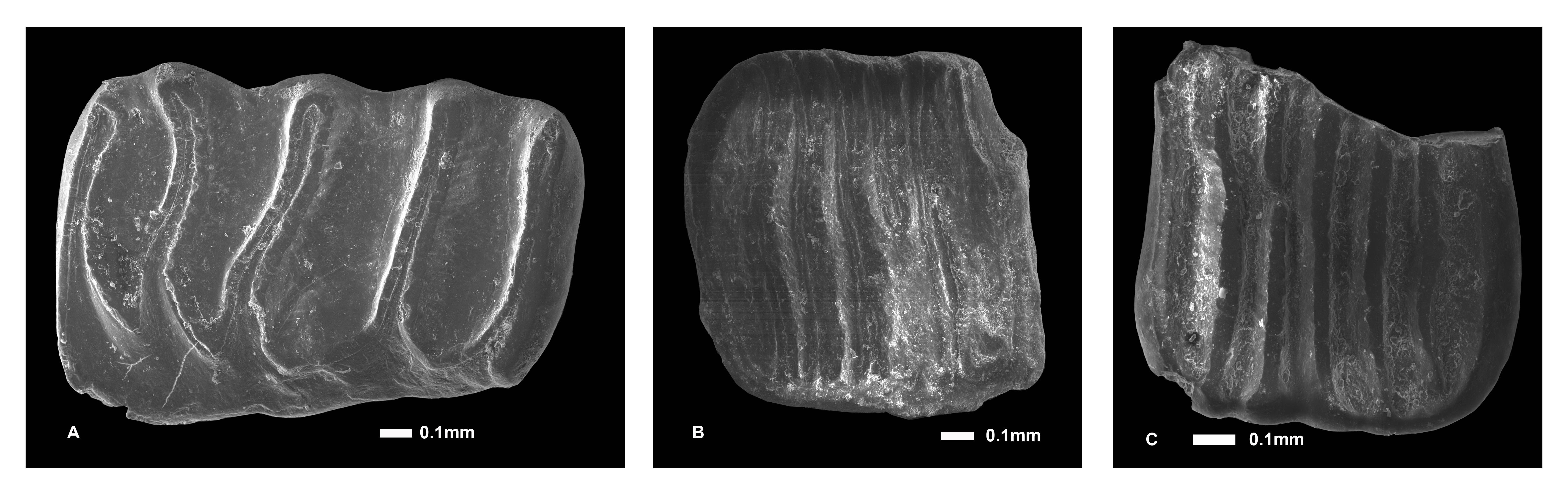 Un lirón enano del Cuaternario en la Península Ibérica y lo que eso significa para la paleoecografía
