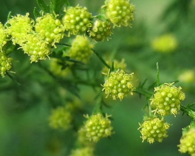 artemisia-annua-fl-fgiordana1