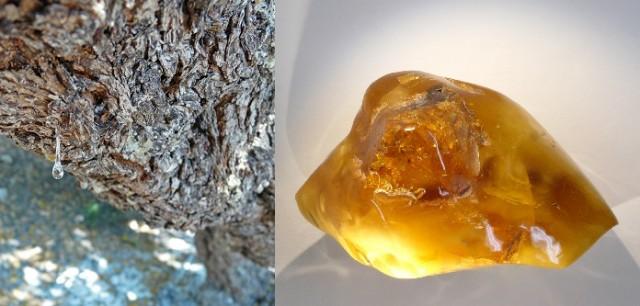 Imagen 7. A la izquierda un árbol de Pistacia lentiscus produciendo la resina conocida como lágrimas de Quios, isla griega donde abunda este árbol. A la derecha un trozo de ámbar que no es otra cosa que resina fosilizada. Fuente: Wikimedia Commons