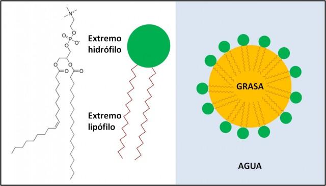 Imagen 1. Una molécula de la familia de las lecitinas (una fosfatidilcolina) y la representación gráfica de como envuelven una gota de grasa.