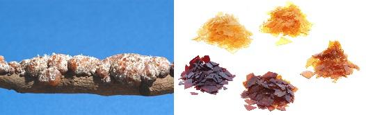 Imagen 8. A la izquierda rama infestada con insectos de la laca; a la derecha una de las formas procesadas de la resina.