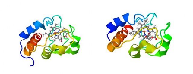 Proteínas citocromo C en la levadura (izquierda) y humanos (derecha). ¿Dirías que estas dos proteínas son muy parecidas?