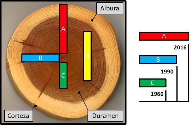 Hipotéticas tablas obtenidas de un tronco de tejo. Las tablas A, B y C son de corte radial y la tabla D de corte tangencial. Dado que el último anillo presente en cada corte es diferente la edad mínima de elaboración de la obra que se reportará será diferente. (FUENTE: El autor sobre https://upload.wikimedia.org/wikipedia/commons/0/0b/Taxus_wood.jpg)