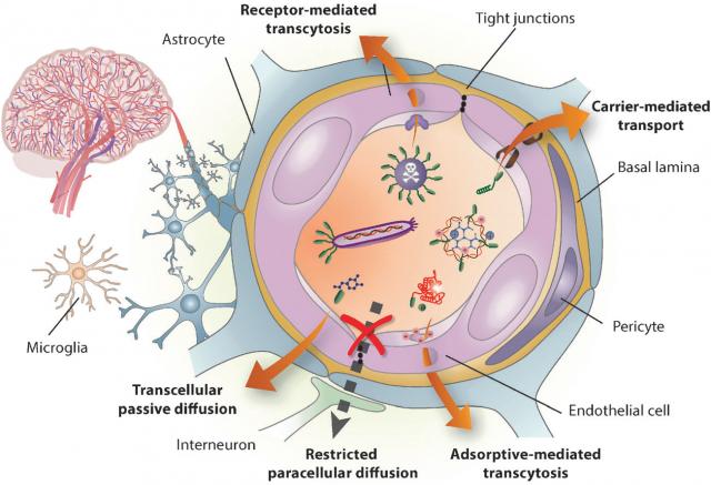 Representación esquemática de las células y los mecanismos que componen la barrera hematoencefálica. Oller-Salvia et al., 2016