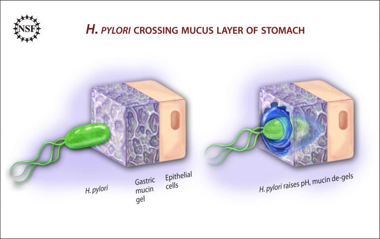 H. pylori crea túneles en la mucosa del estómago
