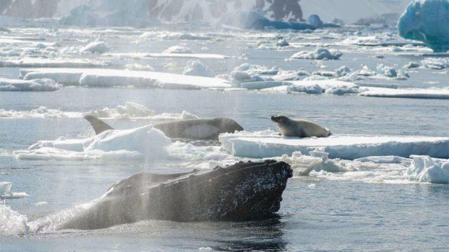 Al fondo, una orca; en la plataforma de hielo, una foca; en primer plano, una ballena jorobada. (Foto: John Durban, NOAA)