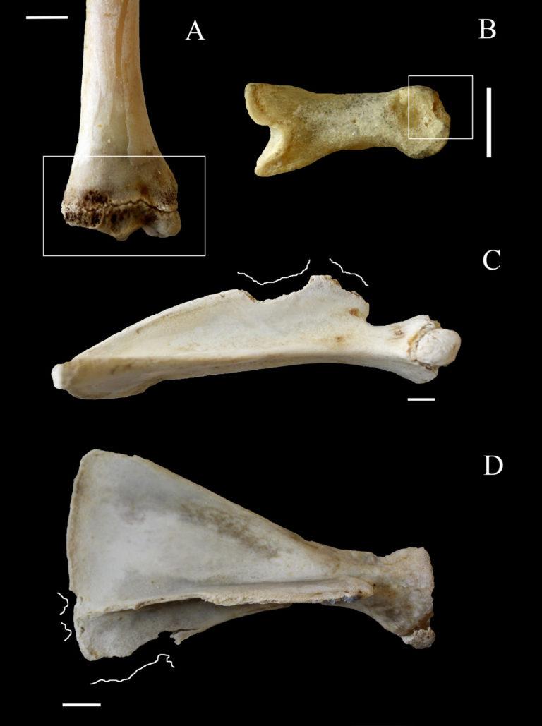 Identificando paleococineros por las marcas en los huesos