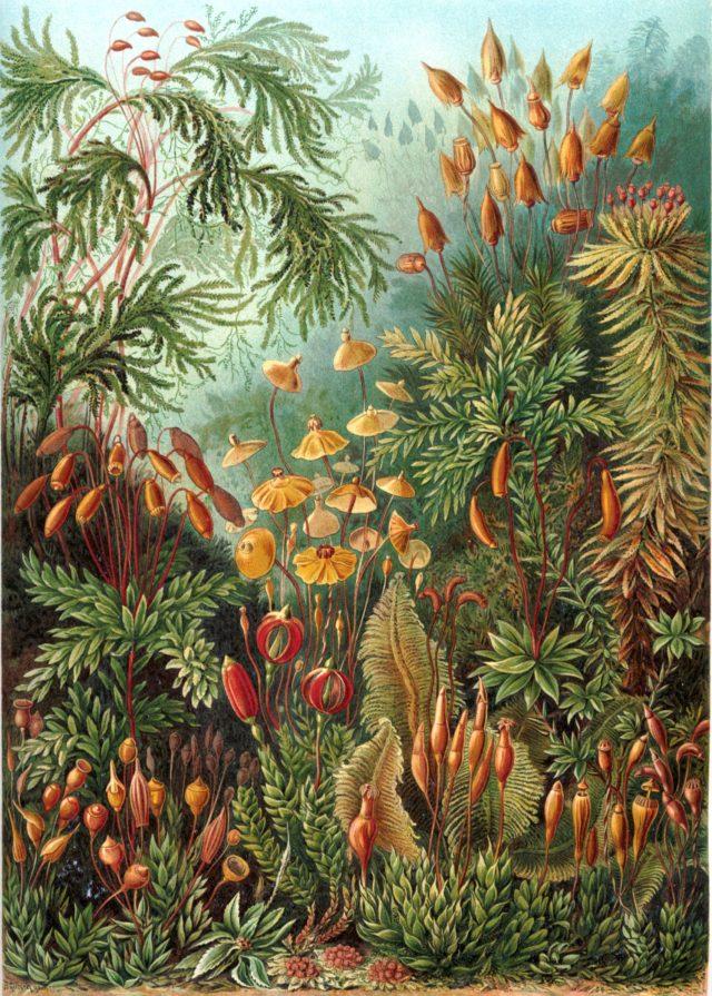 "Ernst Haeckel - ""Kunstformen der Natur"" (1904), lámina 72: Muscinae"