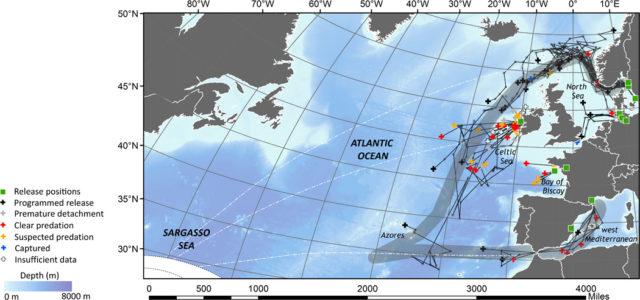 Reconstrucción de las migraciones de las anguilas a partir de los datos de radiotrazado (Imagen tomada de Righton et al: Science Advances 05 Oct 2016: Vol. 2, no. 10, e1501694 DOI: 10.1126/sciadv.1501694)