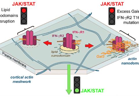 La activación de la señalización intracelular del receptor IFN-R depende de nanodominios lipídicos presentes en la membrana. La alteración de dichos nanodominios o la presencia de una sola mutación en el receptor induce la unión de Galectinas. El receptor queda atrapado en filamentos de actina y se bloquea la señalización celular.