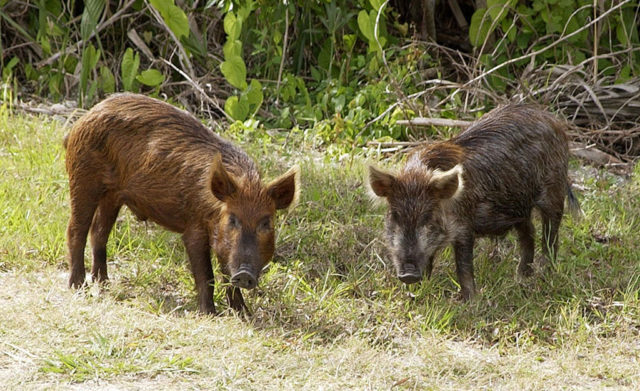 Cerdos ferales cerca del Complejo de Lanzamiento 39 del Centro Espacial Kennedy en Florida (EE.UU.). Se cree que estos cerdos descienden directamente de los llevados por los descubridores españoles.