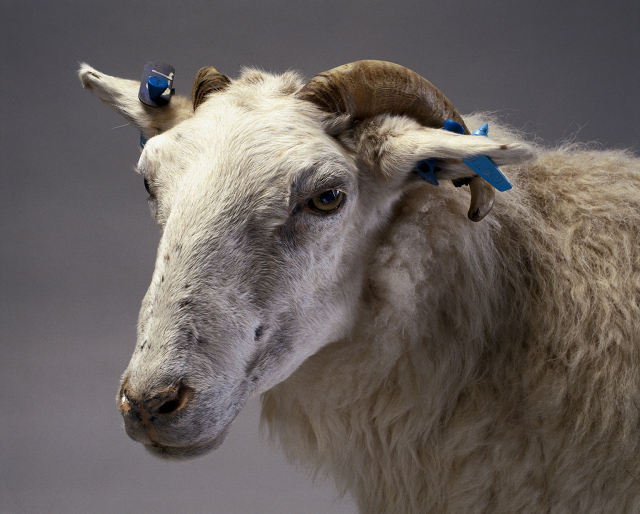 Tracy, la primera oveja transgénica. Science Museum (Londres)