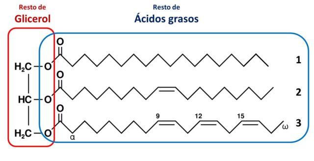 [Imagen 3] [Un triacilglícerido que contiene un ácido graso saturado (1: ácido esteárico), un ácido graso insaturado (2: ácido oleico) y un ácido graso poliinsaturado (3: ácido linolénico)] [Modificado de https://upload.wikimedia.org/wikipedia/commons/thumb/b/be/Fat_triglyceride_shorthand_formula.PNG/300px-Fat_triglyceride_shorthand_formula.PNG]