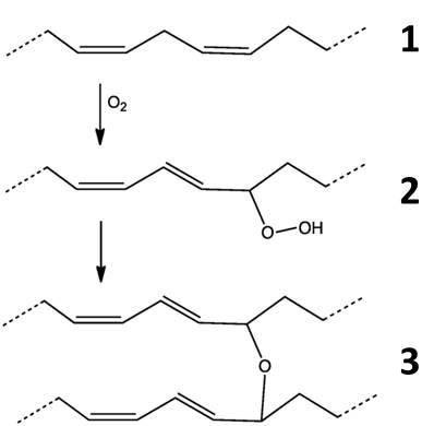[Imagen 4] [Proceso esquematizado de la polimerización de los aceites secantes. La cadena del ácido graso insaturado (1) reacciona con el oxígeno para formar un peróxido (2). A su vez este peróxido reaccionará con el doble enlace de otro ácido graso formando un polímero (3)] [ Modificado de https://upload.wikimedia.org/wikipedia/commons/thumb/3/33/DryingOilDiene%27.png/800px-DryingOilDiene%27.png]