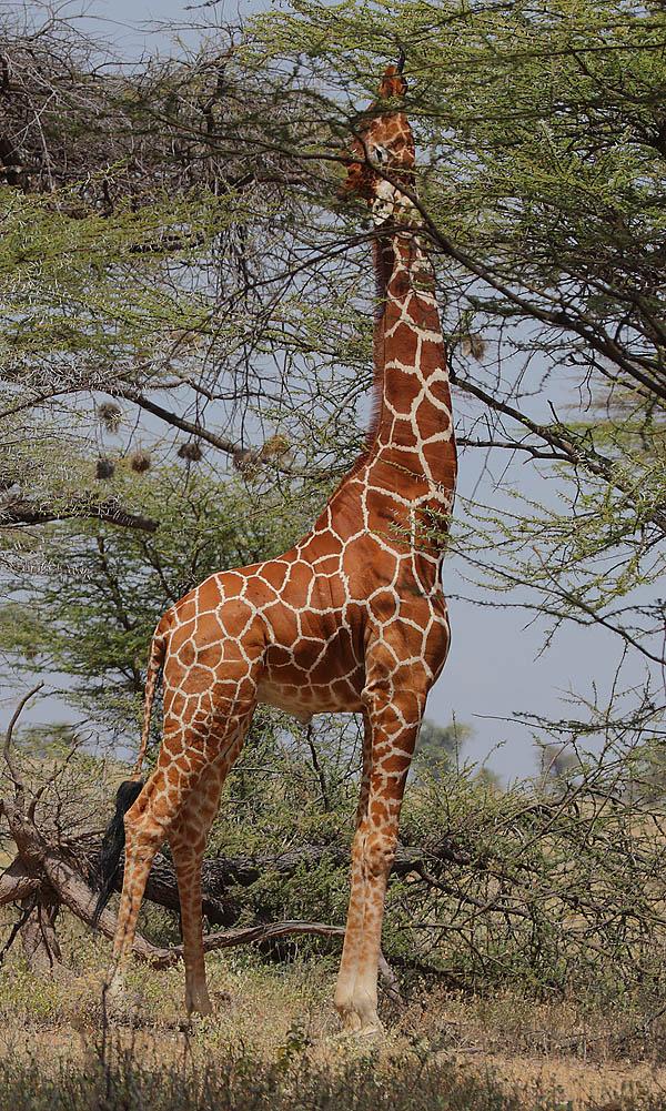Cinco motivos por los que sin jirafas el mundo sería un lugar peor