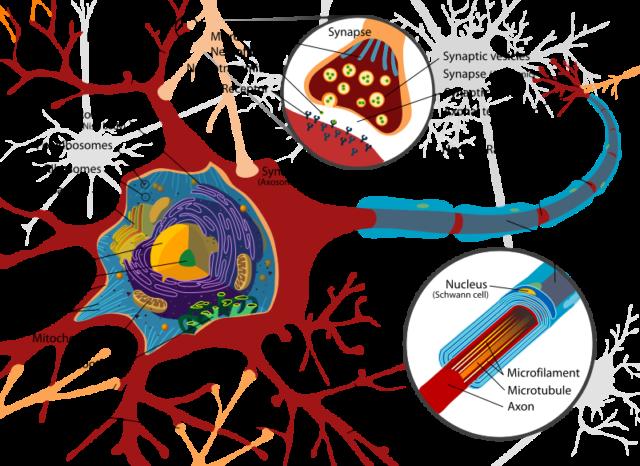 Estructura celular de las neuronas, donde se parecian las mitocondrias (mithocondrion).