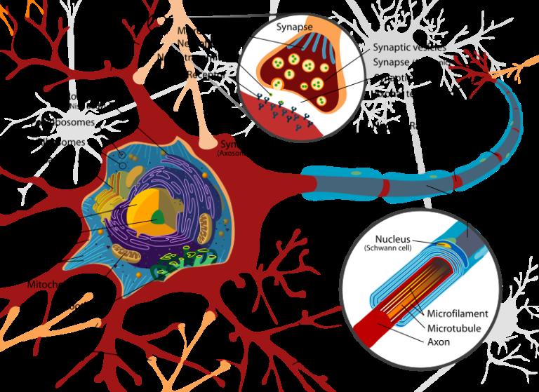 Un nexo cannabinoide entre mitocondrias y memoria